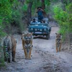 A road block by a male tiger and his cubs on a jungle trail in an evening safari at Ranthambore Tiger Reserve, India