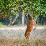 Eating wild  male cheetal deer (Axis Axis). India